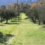 Altro oliveto